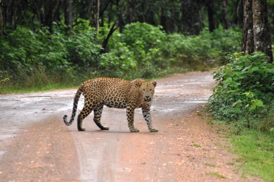 http://www.visitkalpitiya.com/wp-content/uploads/2016/01/leopard-in-willpatu.jpg